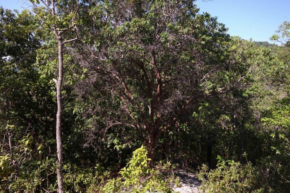 Ironwood tree, resize.jpg