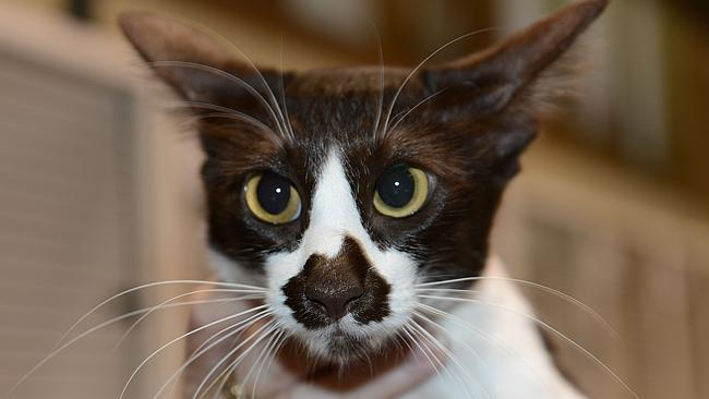 australian cat.jpg