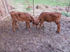 Oxen in training
