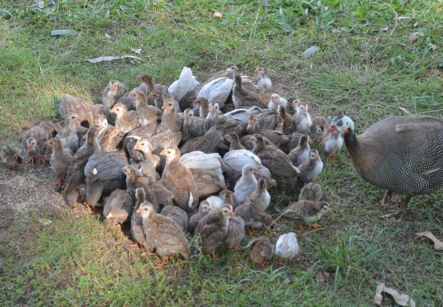 little guineas.JPG